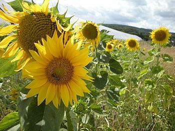 Sonnenblumen in der Plantage Alter Mühlenweg in Heiligenkirchen